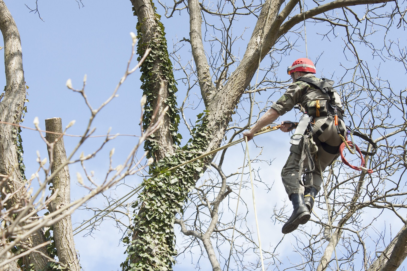An arborist using a chainsaw to cut a walnut tree, dangerous work, tree pruning